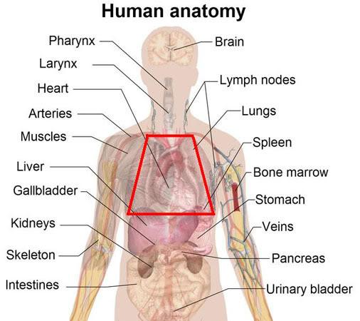 Centro de masa, área anatómica que encierra órganos vitales. Redacción Espacio Armas.